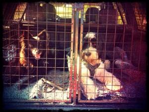 Misty och Puyol pausar i bilen. Puyol från företaget svart-vit hund i Vingåker.